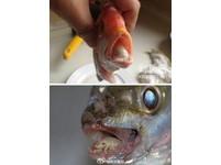 上海也發現「外星寄生蟲」 吞噬鯛魚舌頭