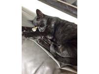 眉心中吹箭叫聲求救 流浪貓「阿勇」被好心女送醫收養