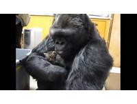 大猩猩想當貓媽媽 輕擁入懷、背著趴趴走