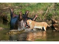 母獅搶吃河馬 涉水單挑一群鱷魚