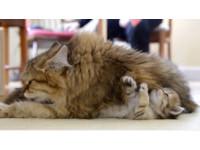 我也要啦!小貓翻身揮手撒嬌 貓媽媽忘我舔毛不甩