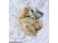 石油巨擘誠徵「北極熊統計員」 爽點熊隻年薪兩千萬