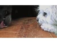 小白狗手短搆不到桌上餅乾 大黑狗空降一口吞下肚