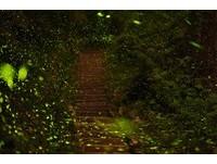 阿里山螢火蟲佔全台種類2/3 五星級賞螢4月7日揭序幕