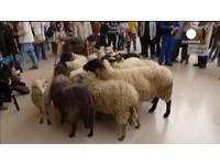 羊咩咩也走上街頭! 法國50名農民羅浮宮前示威抗議