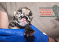 美丹佛動物園誕生2隻雲豹寶寶 瞇眼喝奶超級萌
