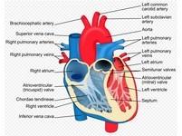 利用3D列印建造人類心臟 5年內就能實現!
