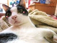 貓奴姐妹花手繪高齡21歲乳牛貓Amy爆笑生活點滴