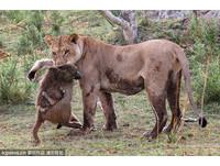 殺了母親放過小孩 母獅瞬間心軟… 公狒狒即刻救援