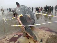 江蘇4抹香鯨擱淺死亡 民眾半夜搶割肉
