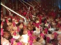 殺雞被關兩次 雞販「一刀流」自嘲第一人