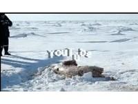 2無辜北極熊遭獵殺當場剝皮 體無完膚慘死雪地