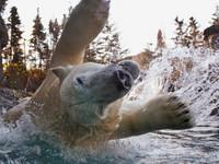 加拿大北極熊甩水 照片如雪花漫天飛舞