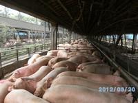 搶救豬價 台糖減緩出豬並增加凍宰豬9千頭《ETtoday 新聞雲》