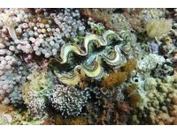 珊瑚礁海域美麗花朵 綠島禁捕幼小「硨磲貝」