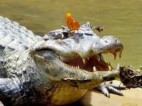 苗栗市鱷魚出沒?50公分大蜥蜴嚇壞一票人