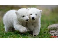 美麗佳人/瞬間融化~德國雙胞胎北極熊萌亮相