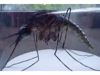 網傳「南非吸脂蚊子」讓你瘦 網友驚喜:抓到蚊帳陪睡