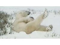 北極熊抬腿伸懶腰 賴床懶樣萌人