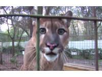 「貓咪放大版」美洲獅眼神楚楚可憐 發巨大呼嚕等美食