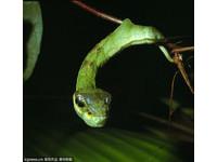 最強詐欺犯現身!肥毛毛蟲藏腳偽裝毒蛇嚇敵