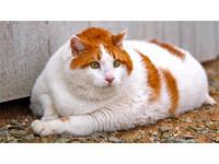 貓咪胖胖問題多 7招幫愛貓瘦身重拾健康