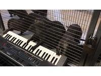 獨奏五手聯彈都行 亞洲小爪水獺「超有氣勢」玩電子琴