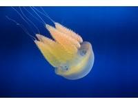水中精靈「端鞭水母」現身 雪白肌驚艷海生館