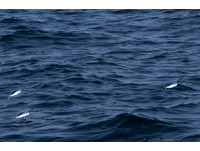 翱翔海上的精靈 從金山搭船就能欣賞飛魚的身影