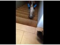 喵星人超靈活 失去後腳掌 「倒立貓」神技下樓梯