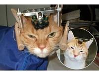 倫敦大學學院恐怖實驗:活貓頭骨開洞插電
