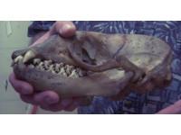 看看食蟹海豹 令人做噩夢的牙齒!