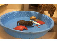 做貓不能忘本! 小漁貓萌抓金魚練習求生本能
