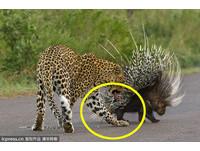 噁!刺刺的… 花豹想吃豪豬 衰被扎傷