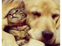 尺寸不是問題! 黃金獵犬橙醬與小小貓咪的溫馨生活