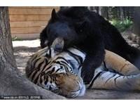 13年交情不變!獅子、老虎都愛這隻熊麻吉