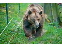 上山採野菜遇棕熊攻擊 日男拿金屬棒擊退撿回一命