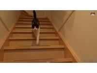 寂寞貓3天不見主人 聽見開門聲立刻跑到主人面前撒嬌