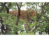 超級汪星人?花豹被野犬追到躲樹上 慘遭奪食超不爽