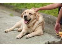 從寵物狗看出你的社經地位! 單身者偏好拉布拉多犬