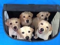 倒數計時20天! 3隻導盲幼犬:爸媽去哪兒了?