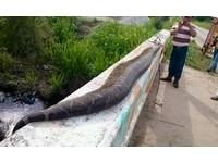 墨國村民合殺7公尺巨蟒 只因「牠大到足以吞掉小孩」