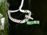 古坑小蛇獵食失算反被網黏住 慘被人面蜘蛛吃精光!