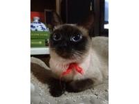 萌到太犯規!暹羅貓擁有少女漫畫的雙眼