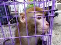 台灣母猴CCR了嗎? 大埔美猴王的身份為何這麼重要?