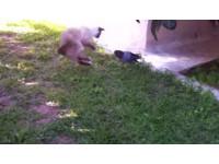 遇上鴿子啄貓尾挑釁 暹羅貓使出滾地連環掌!
