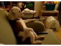 「有事嗎?」鬥牛犬坐姿超像人 認真看電視不甩主人