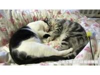 疊著睡、靠頭睡也能相擁入睡 家有雙萌貓睡姿百百款