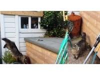 跳起來「後腳滑了」撞木箱 波斯貓假裝沒事抬頭看一下
