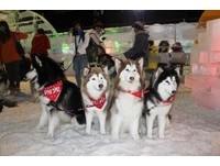 有回家的感覺!50隻哈士奇齊聚急凍樂園玩雪舔冰樂消暑